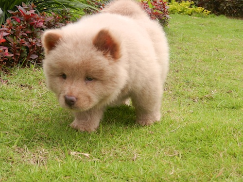 Gratchi's Getaway Mascot - Magoo the Chow Chow